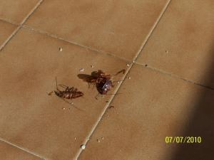 """Kakerlaken, fast liebevoll """"La Cucarachas"""" genannt..."""